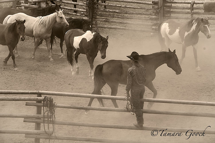A fine art photograph of a cowboy standing on the corral fence over looking the horses as dust stirs in the air.