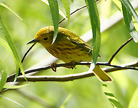 Adult male yellow warbler