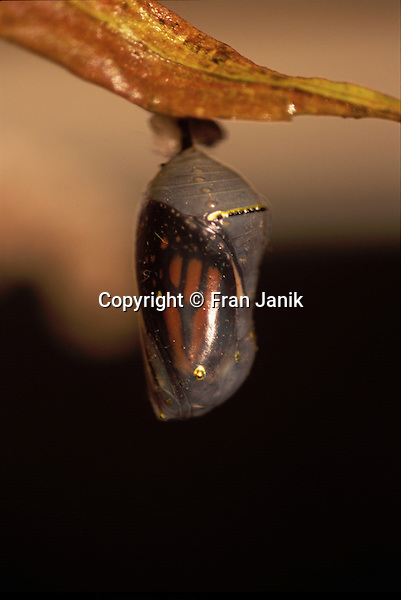 "A Monarch butterfly is visable hanging in it""s translucent chrysalis in October in Vermont."
