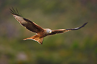 Red kite, Milvus milvus, at wildlife watching feeding station, Pre-Pyrenees, Catalonia, Spain