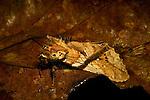Moth (Dudusa vethi) male, Tawau Hills Park, Sabah, Borneo, Malaysia