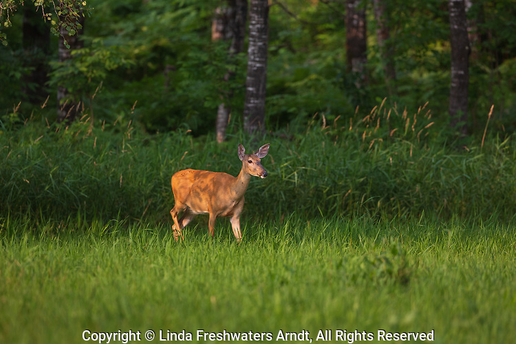 White-tailed doe emerging from the forest's edge in northern Wisconsin.