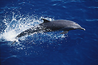 pantropical spotted dolphin, Stenella attenuata, Eastern Tropical Pacific Ocean