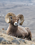Bighorn sheep ram bedded during the rut. Park County, Montana.