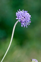 DEVIL'S-BIT SCABIOUS Succisa pratensis (Dipsacaceae) Height to 75cm. Upright perennial with hairy or hairless stems. Grows in damp grassland, woodland rides and marshes. FLOWERS are pinkish lilac to violet blue with projecting anthers (like tiny mallets); borne in dense, domed terminal heads, 15-25mm across, on long, slender stalks (Jun-Oct). FRUITS are dry and papery. LEAVES are spoon-shaped at the base of the plant, and narrow on the stem. STATUS-Widespread and common throughout.