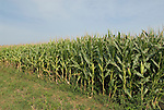 Minnesota agriculture: corn and soybeans are the two main crops of Southern Minnesota. Corn growing in field..Photo mnqual325-74829..Photo copyright Lee Foster, www.fostertravel.com, 510-549-2202, lee@fostertravel.com.