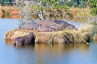 Hippos on island, Mlilwani, Swaziland