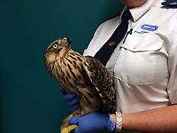 COPY BY TOM BEDFORD<br /> FOR PICTURES PLEASE BYLINE RSPCA/Athena Pictures<br /> Pictured: The rare goshawk which has been released back to the wild after being rescued by the RSPCA<br /> Re: A rare bird of prey has been rescued and returned to the wild after it was found in a chicken coop.<br /> The goshawk was discovered at a Carmarthenshire smallholding after the owner was alerted to a &quot;commotion&quot; coming from the chicken run.<br /> The bird, which is a type of large hawk, was confined until the RSPCA attended and collected her.<br /> All chickens escaped to the upstairs of the coop and were uninjured.<br /> RSPCA animal collection officer Ellie West, who completed the rescue, said it was a &quot;highly unusual find&quot; and her &quot;first encounter with a wild goshawk&quot;.<br /> She said: &quot;It was some ordeal for the chickens. One hen ran into the coup, and initially still had the goshawk clinging to her back.<br /> &quot;Fortunately, they all escaped unharmed, and were fine - as was a pretty startled goshawk.<br /> The bird of prey was monitored overnight before being released.