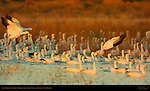 Snow Geese at Sunrise, Bosque del Apache Wildlife Refuge, New Mexico