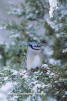 01288-03911 Blue Jay (Cyanocitta cristata) in Juniper tree in winter  Marion Co.  IL