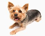 Studio shot of yorkshire terrier