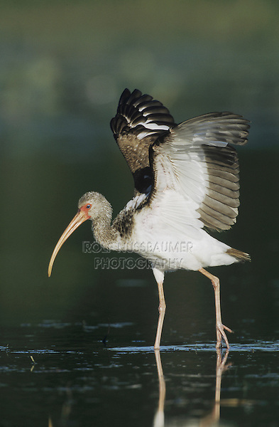 White Ibis (Eudocimus albus), adult walking, Sinton, Coastel Bend, Texas, USA