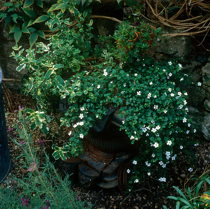 A white flowering trailing plant in a cast-iron planter against a stone wall.