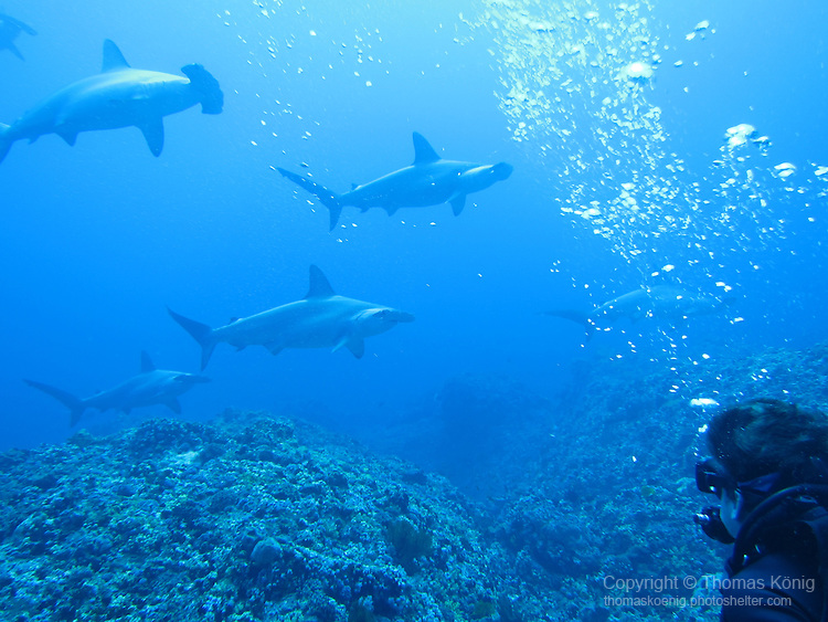 Gun Shui Bi, Green Island -- A diver taking in the awesome sight of a group of hammerhead sharks swimming by.