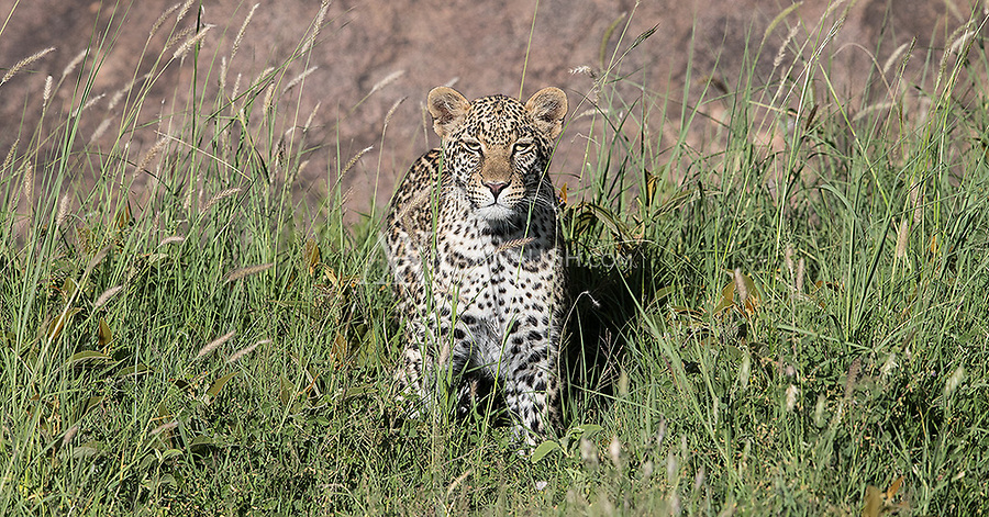 We did not see a lot of leopards on this trip, but our late afternoon shoot with this female is one of the better encounters I've ever had. The towering kopjes provided a very photogenic setting.