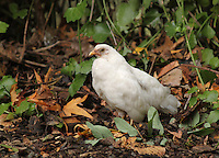 Stock image of a white hen sitting in the jungle of Troodos, Cyprus.