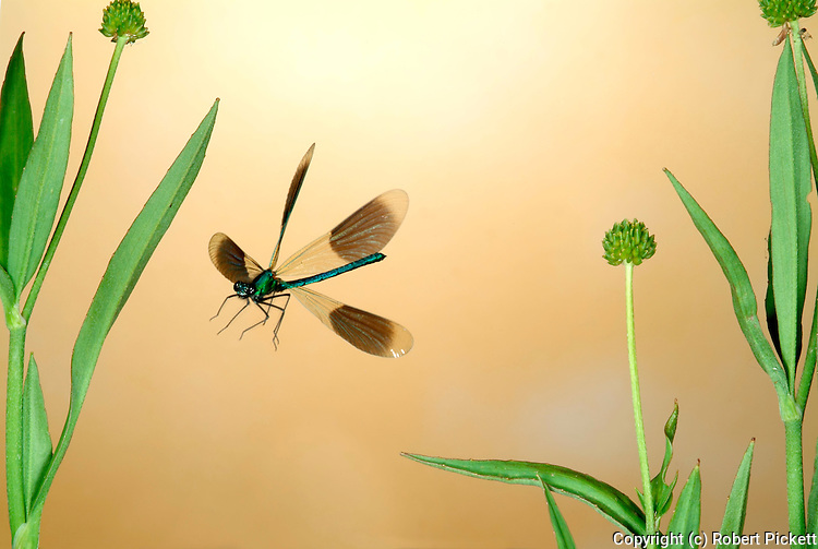 Banded Demoiselle or Damselfly, Calapteryx splendens, male, in flight, high speed photographic technique, flying over pond reeds.United Kingdom....
