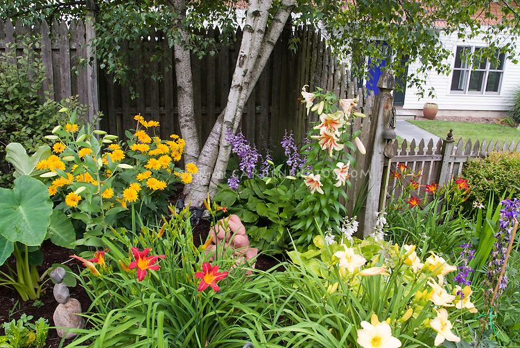 Lilies, daylilies, hostas, elephant ears Colocasia, in shaded garden under birch tree, near house, with fence