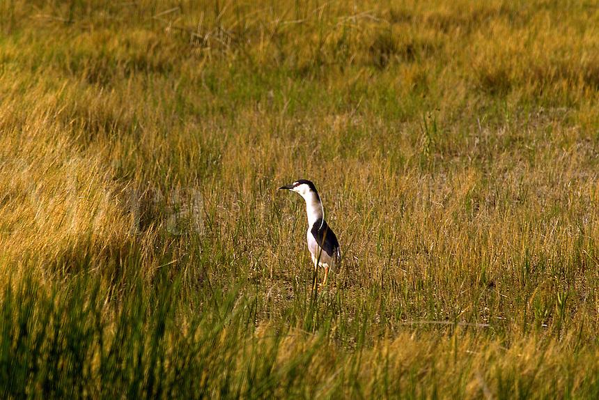 Black Crowned Night Heron in a marsh at Fish Springs Wildlife Refuge, UT. Utah, Fish Springs Wildlife Refuge.