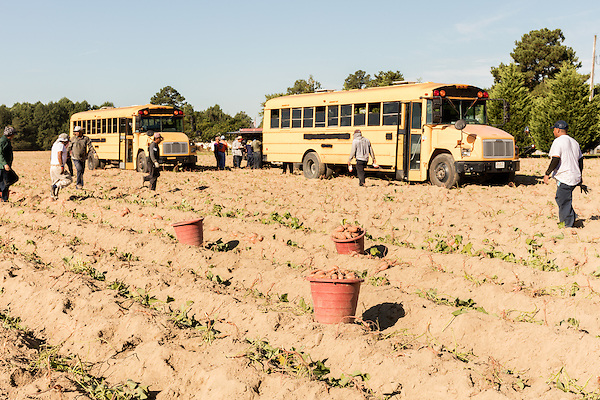 August 22, 2016. Wilson, North Carolina<br />  One the first day of harvest, workers take a break from pulling sweet potatoes from a field managed by Vick Family Farms. In all, the family has 1500 acres of sweet potato crops. <br />  Vick Family Farms uses Greenlight provided broadband to monitor its tobacco drying barns as well as run its large sweet potato operation. If they lose the network due to recent legal suits brought by the telecom industry on the city of Wilson, who provides the fiber optic broadband, they may be unable to run the business with near the level of efficiency.<br />  Greenlight Community Broadband is a fiber optic internet service provider owned by the city of Wilson, NC. Popular with residents for its reliability and speed, the city started offering the service to towns outside of its municipal limits before a court case brought by the telecom industry took away the city's ability to expand beyond its borders. Several businesses and residents who have come to rely on the utility fear for their livelihoods if the service is discontinued.