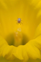 Tiny spider hanging in her web over the center of a yellow daffodil