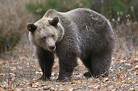 Grizzly Bear standing amongst the fall debris - CA
