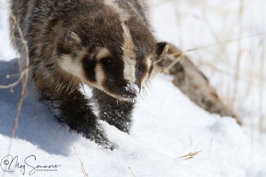 American Badger (Taxidea taxus) out for a stroll in March. It is an usual sight as Badgers do not fully hibernate, but may wake up during the winter and wander around for a while and then go back to sleep.