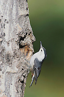 White-breasted Nuthatch, Sitta carolinensis,Rocky Mountain National Park, Colorado, USA, June 2007