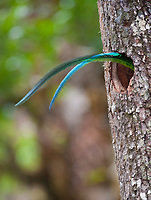 resplendent quetzal, Pharomachrus mocinno, adult male's tail sticking out of nest hole while brooding young, Costa Rica, Central America