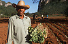 Farmer holding tobacco seedlings being planted at Vinales; Cuba,