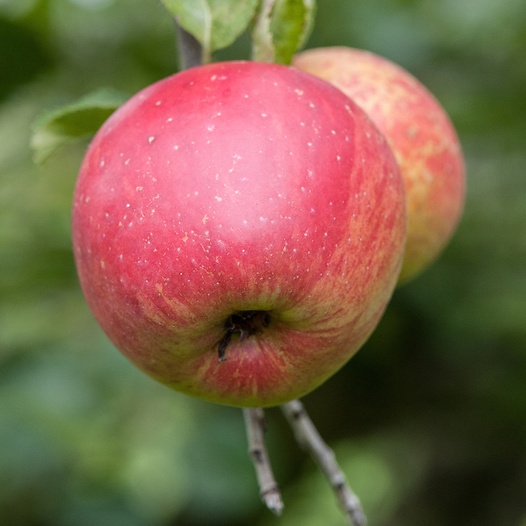 Apple 'Groninger Kroon', mid September. A popular Dutch dessert apple dating from the 19th century.