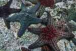 Sea Star (Pentaceraster alveolatus) group, Kapa Island, Vava'u, Tonga