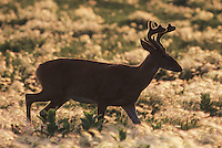 White-tailed Deer (Odocoileus virginianus), buck in velvet, Minnesota, USA