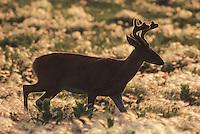 White-tailed Deer (Odocoileus virginianus), buck in velvet, Minnesota, USA