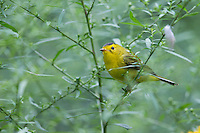 Wilson's Warbler (Cardellina pusilla pusilla), Eastern subspecies, first Fall male, a Fall migrant to Central Park in New York City.