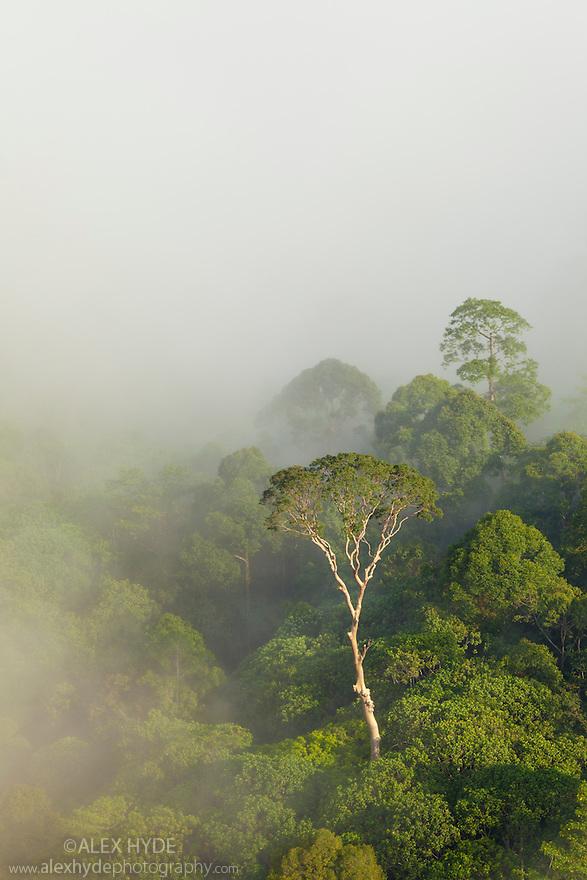 Tualang (Tapang) or Mengaris Tree {Koompassia excelsa}, lowland dipterocarp rainforest, Danum Valley, Sabah, Borneo.