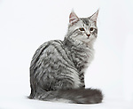 Maine Coon, Silver Mackerel Tabby, 4 1/2 months old