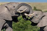 Kenya, Maasai Mara National Reserve, African bush elephants (Loxodonta africana)