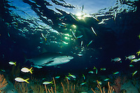 Tiger Shark (Galeocerdo cuvier) swims above a coral reef in the Bahamas at sunset.
