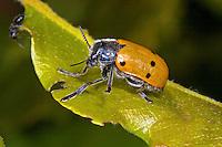 Haar-Langbeinkäfer, Lachnaia sexpunctata, Lachnaea sexpunctata, leaf beetle