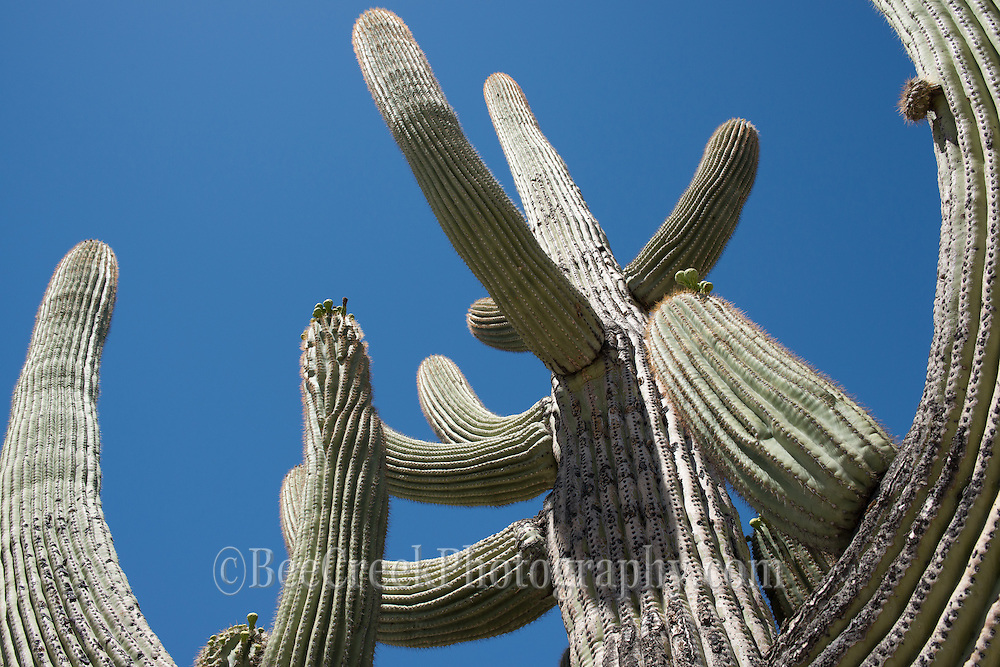 Here is a saguaro catus that is the size of a tree.  You see the arms reaching to the sky.