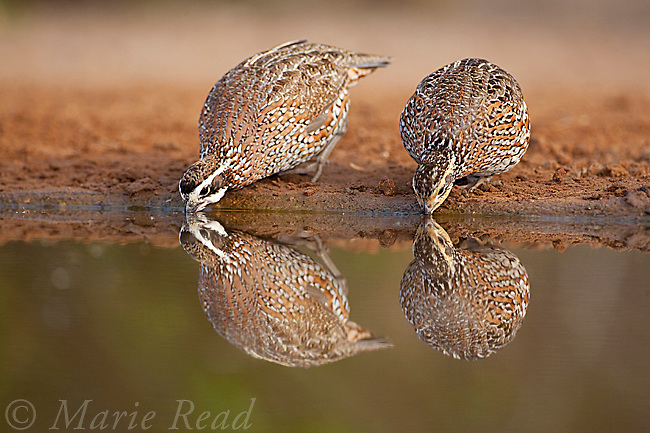 Northern Bobwhites (Colinus virginianus) male (left) and female (right) drinking at the edge of a pool, Rancho Santa Clara, Rio Grande Valley, Texas, USA