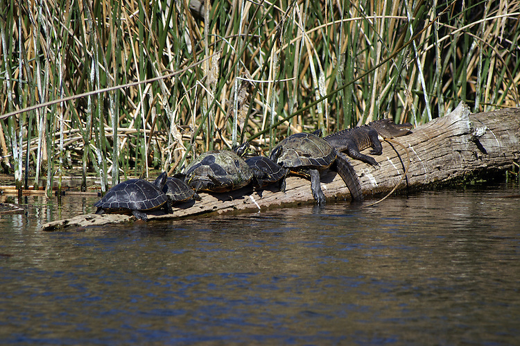 The turtles are sharing their sunning spot with a small American alligator.