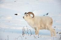 Dall sheep ram in the snow along the Brooks Range mountains in Atigun canyon.