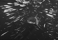 WG0297-Dbw. Great White Shark (Carcharodon carcharias) swimming through school of Scad Mackerel (Decapterus macarellus). Guadalupe Island, Baja, Mexico, Pacific Ocean. Color photo converted to black and white.<br /> Photo Copyright © Brandon Cole. All rights reserved worldwide.  www.brandoncole.com