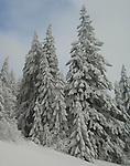 Snow blanketing the evergreen trees along the road to Mt. Spokane in Washington