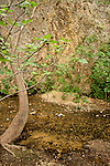 Israel, Upper Galilee. A Fig tree in Nahal Ayoun Nature reserve
