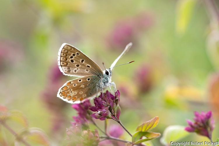 Brown Argus Butterfly, Aricia agestis,  Queensdown Warren, Kent Wildlife Trust, UK, wings open, soft focus, sunshine, colourful, pink,yellow,green, flower meadow