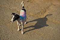 Even the Dogs are not spared during the Holi Festival in India
