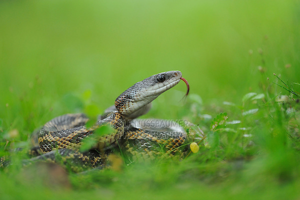 Texas Rat Snake (Elaphe obsoleta lindheimeri), adult in defense posture, Fennessey Ranch, Refugio, Coastal Bend, Texas Coast, USA